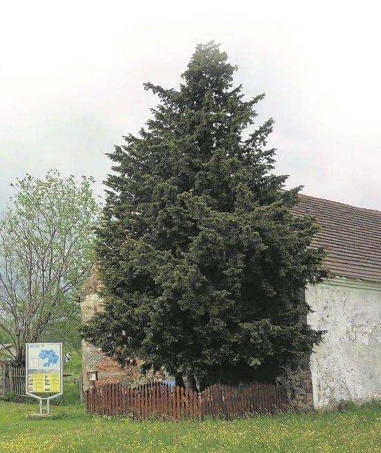 najstarsze drzewa na świecie cis