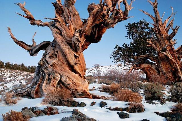 najstarsze drzewa na świecie sosny
