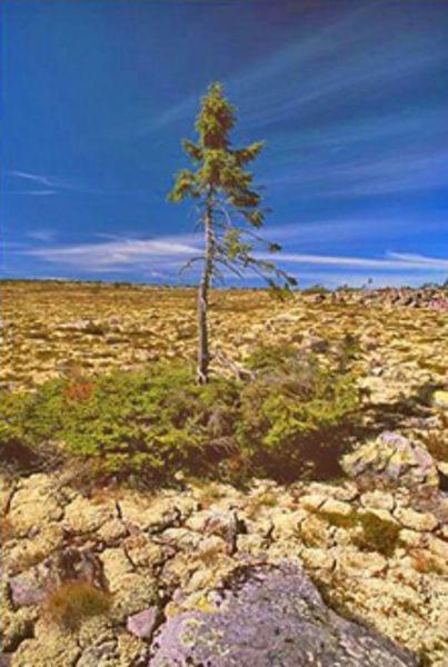 najstarsze drzewa na świecie