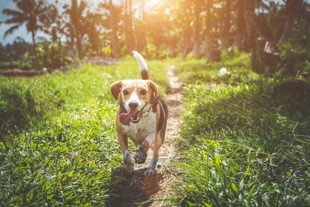 uśmiechnięty pies