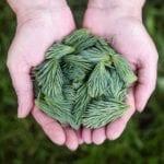 pine-leaves-691639_640