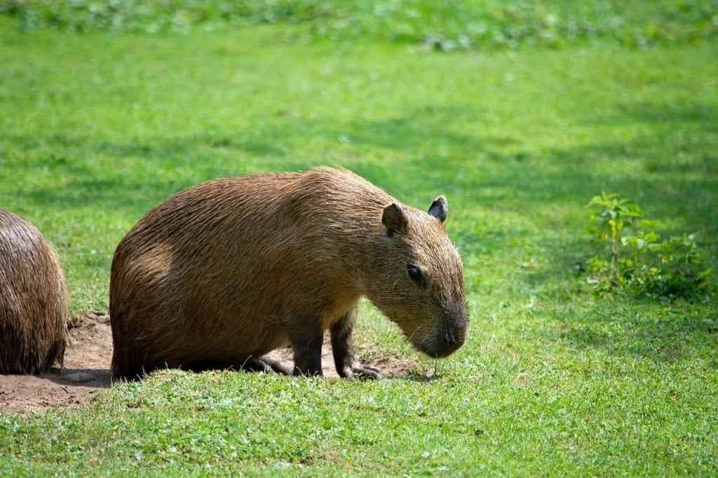 kapibara na trawie