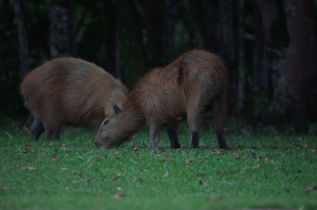 dwie kapibary w lesie