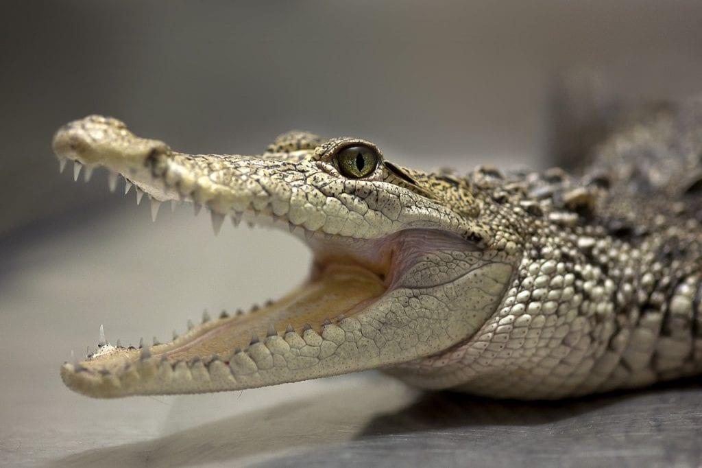 aligator z otwartą paszczą