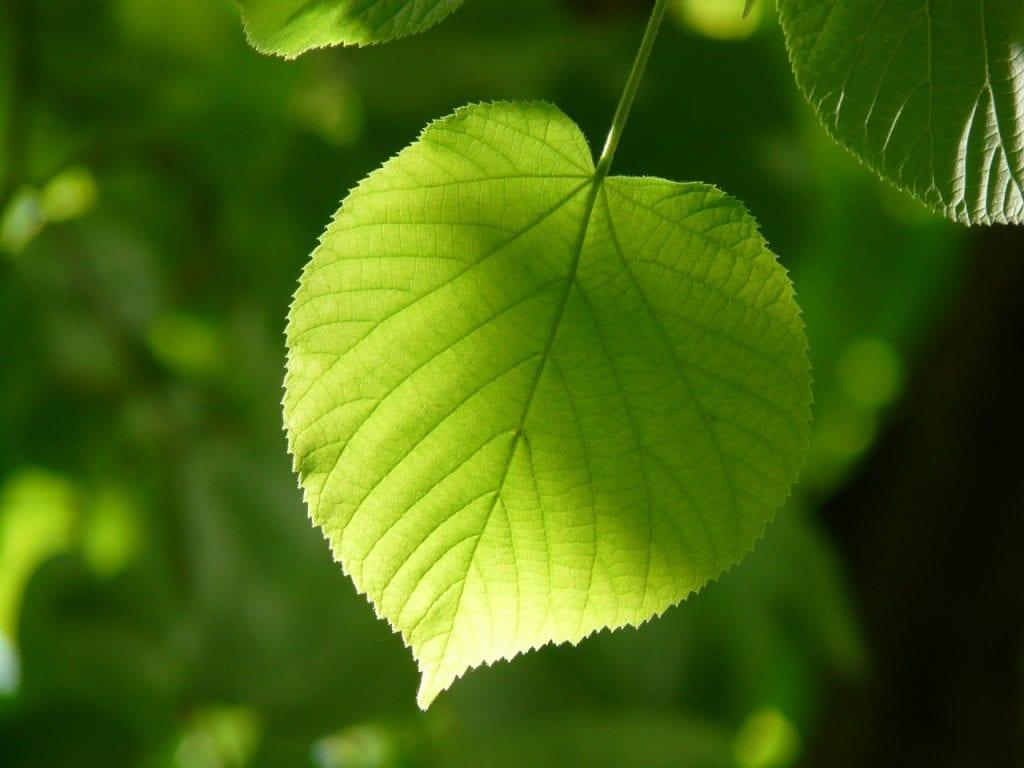 zielony liść drzewa lipy