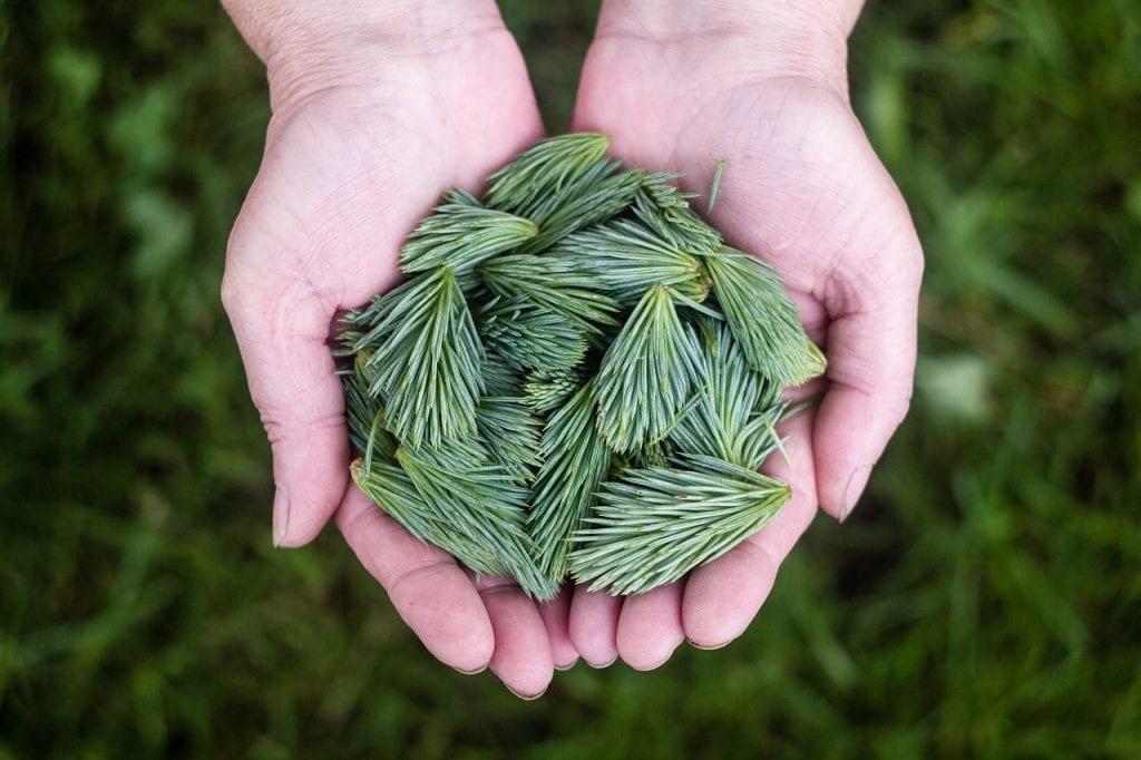 zielone pędy sosny