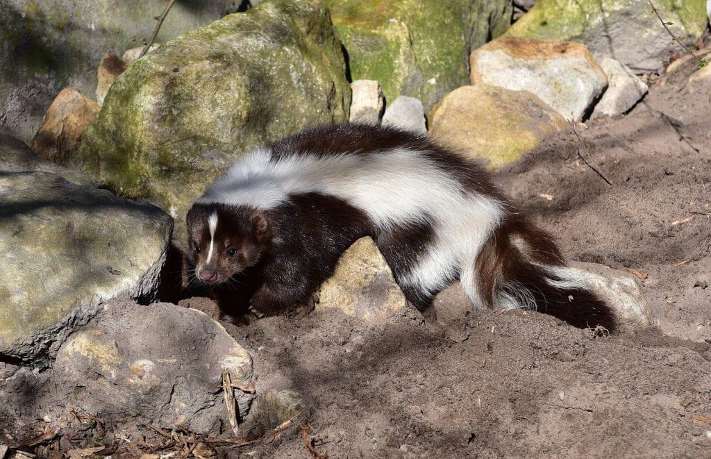 czarno-biały skunks
