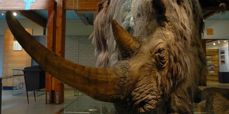 Nosorożec włochaty, jako eksponat w muzeum.