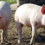 2 świnie stojące obok siebie.